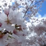万博記念公園・桜