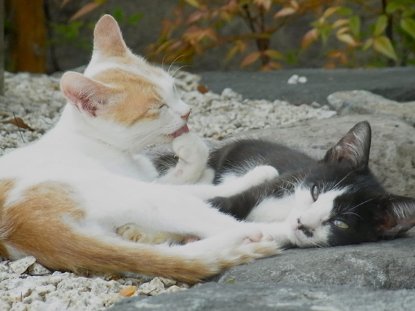 茶寅と黒白の子猫