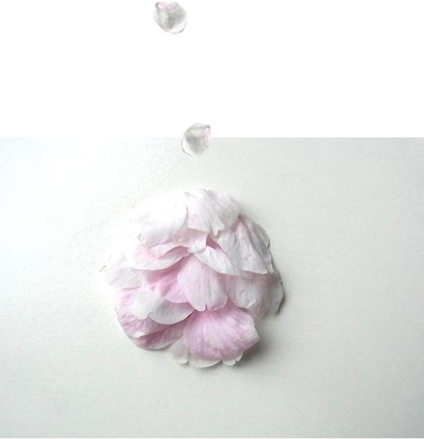 桜の花びらを集めた