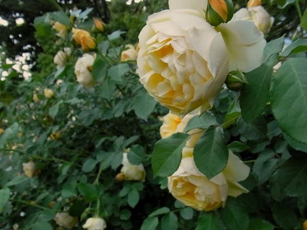 黄色の大きな薔薇