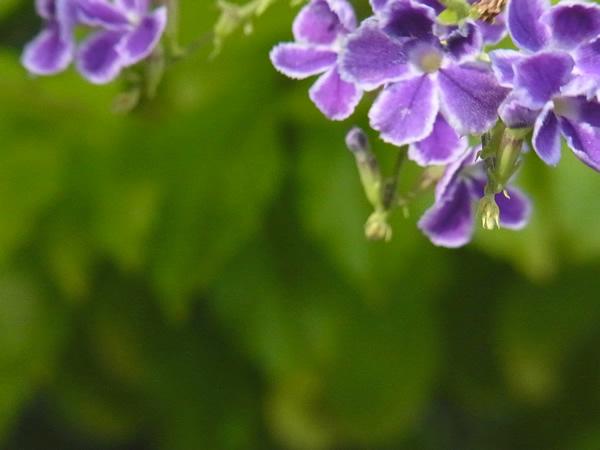 夏の紫の小花