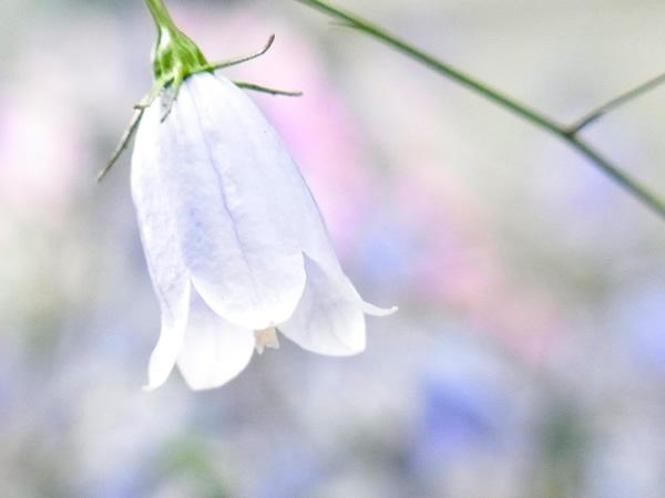 うつむいた白の花