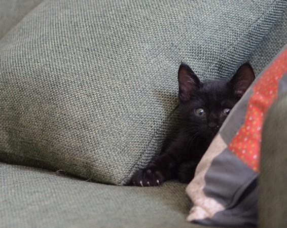 ソファーの黒い子猫