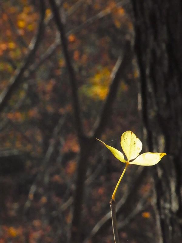 黄色の小さな紅葉