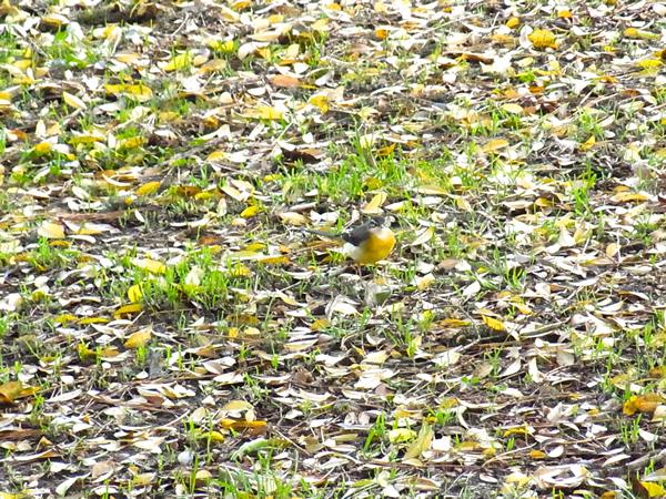 黄色の落ち葉の中の小鳥