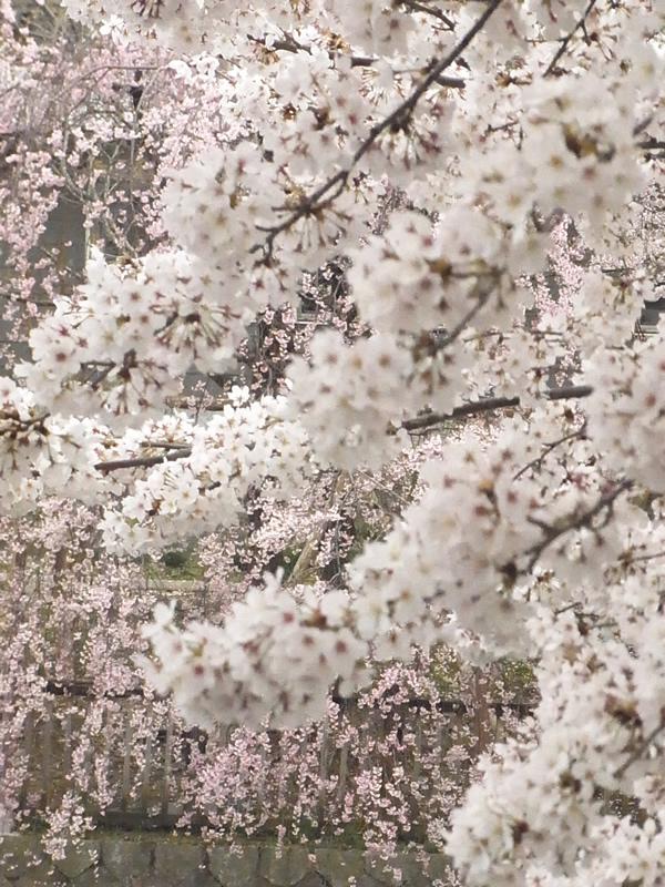 桜の木2016