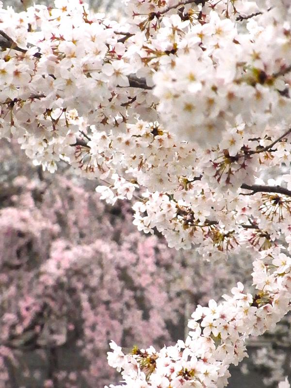 2016・桜