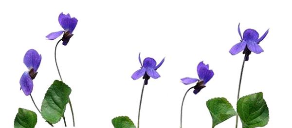 すみれの花