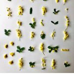 ミモザの花を