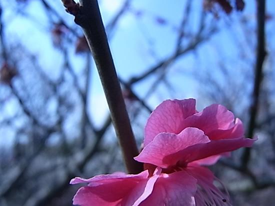 私とパソコン記事中の梅の花