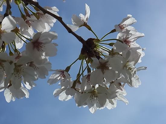 万博記念公園 桜