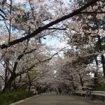 夙川公園・桜