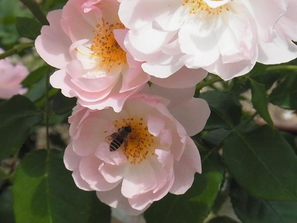 みつばちと薔薇