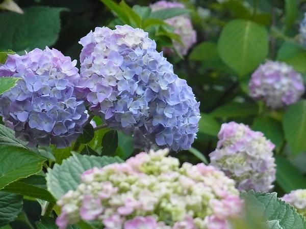 薄紫とピンクのあじさいの花