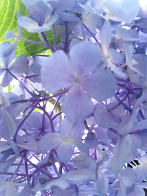 紫のあじさいアップ写真