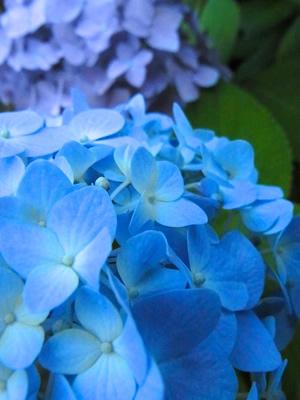 紫陽花2色のアップ写真
