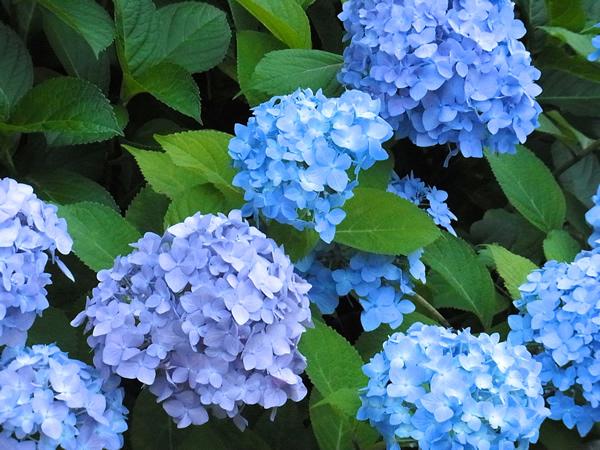 薄紫と水色の紫陽花