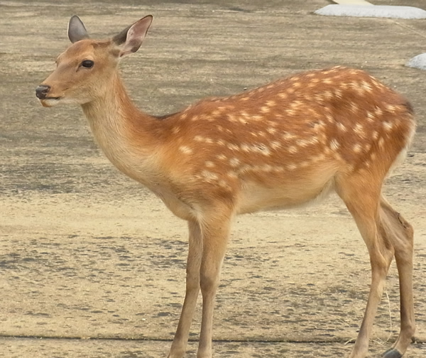 奈良のバンビの横顔
