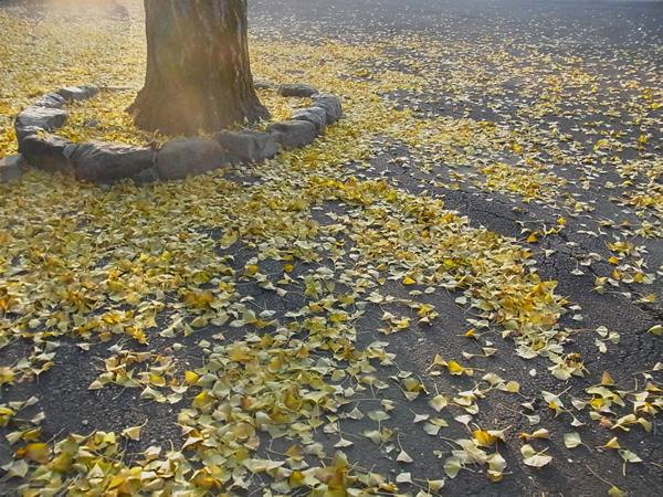 銀杏の木の根元