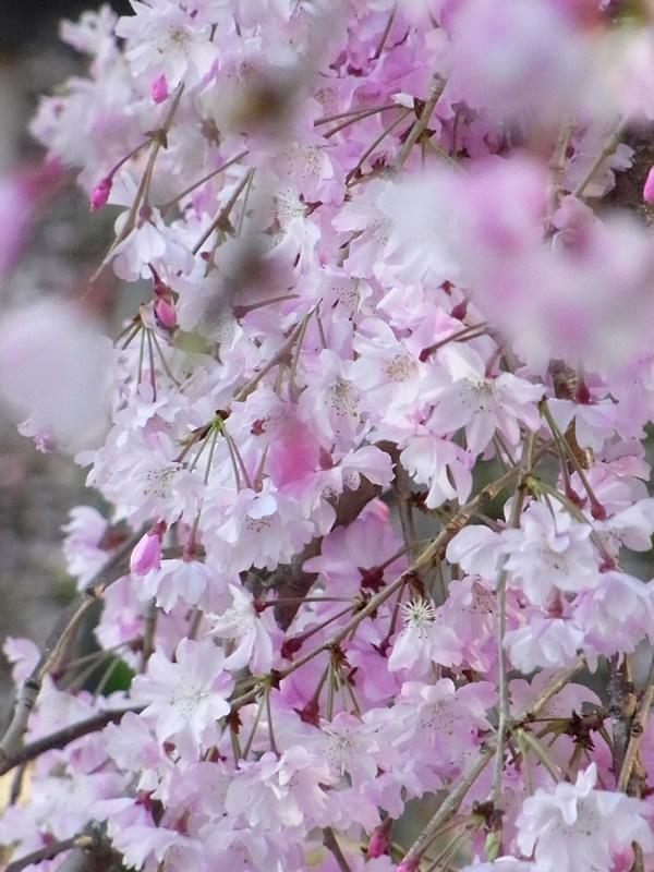 満開の垂れ桜