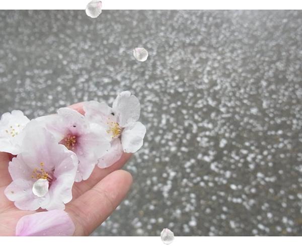 拾った桜の花