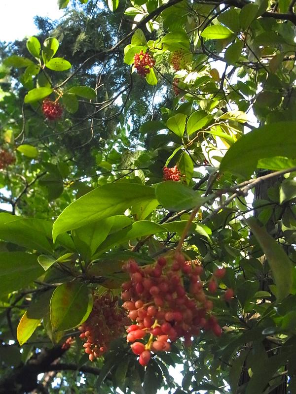 夏の赤い実の木