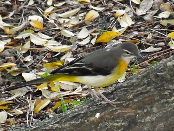黄色の落ち葉の中の小鳥の横顔