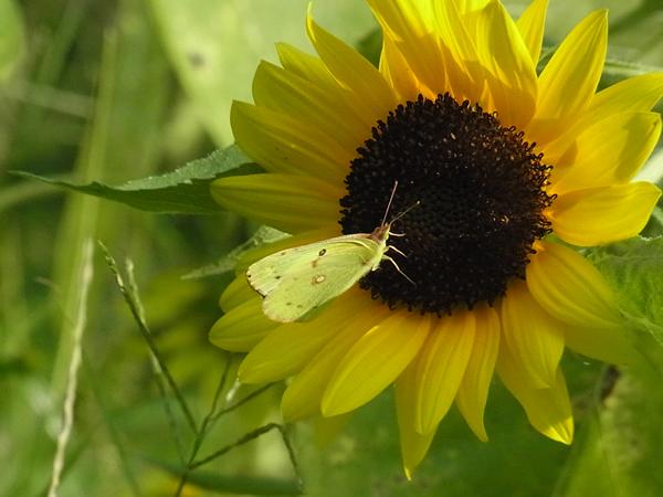 ひまわりに蝶々